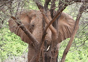 An African Elephant resting his head on a tree...