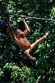 Sandakan Sabah Sepilok-Orangutan-Rehabilitation-Centre-02.jpg