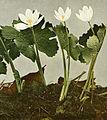 Sanguinaria canadensis WFNY-077k.jpg