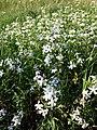 Saponaria officinalis sl12.jpg