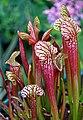 Sarracenia 'Ladies in Waiting' x open-pollinated (4772938526).jpg