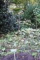 Sassafras randaiense - San Francisco Botanical Garden - DSC00016.JPG