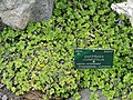 Saxifraga cuneifolia - Copenhagen Botanical Garden - DSC07517.JPG