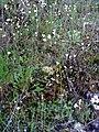 Saxifraga granulata Habitus2 2009March19 SierraMadrona.jpg