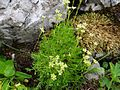 Saxifraga moschata T69.1.jpg