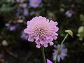 Scabiosa columbaria 'Pink Mist', duifkruid 03.JPG