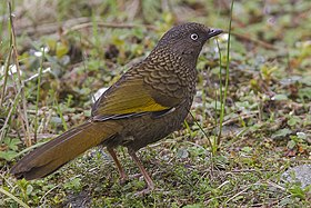 Scaly Laughingthrush.jpg