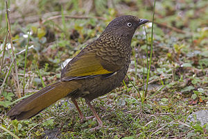 Scaly laughingthrush - Garrulax subunicolor from Pangolakha WLS, Sikkim, India.