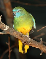 Scarlet-chested Parrot 045