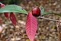 Scarlet Satinash - Syzygium erythrocalyx (15922302649).jpg