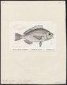 Scatharus graecus - 1700-1880 - Print - Iconographia Zoologica - Special Collections University of Amsterdam - UBA01 IZ13100015.tif