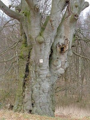 Sheep beech near Neu Dobbin, Mecklenburg's largest and oldest red beech [1]