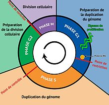 INTERPHASE CYCLE CELLULAIRE PDF