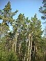 Scots Pines in wood.jpg
