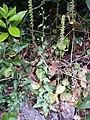 Scrophularia peregrina sl1.jpg