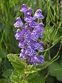 Scutellaria タツナミソウ やしろの森公園DSCF8686.JPG