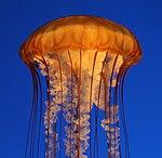 Sea Nettle (15396938237).jpg