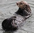 Sea Otter 9 (15398433657).jpg
