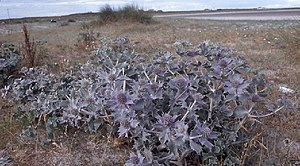 Mullet Peninsula - Sea holly at Termoncarragh