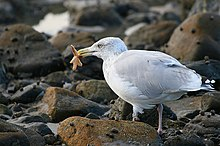 Gull feeding on starfish