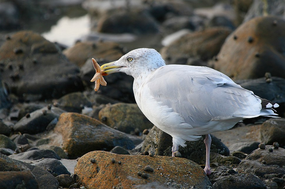 Seagull eating starfish