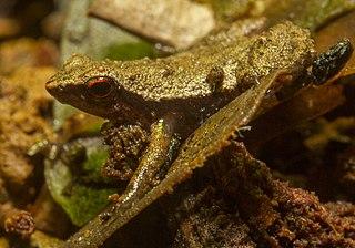 Sooglossidae family of amphibians