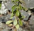 Sedum cepaea leaf (01).jpg