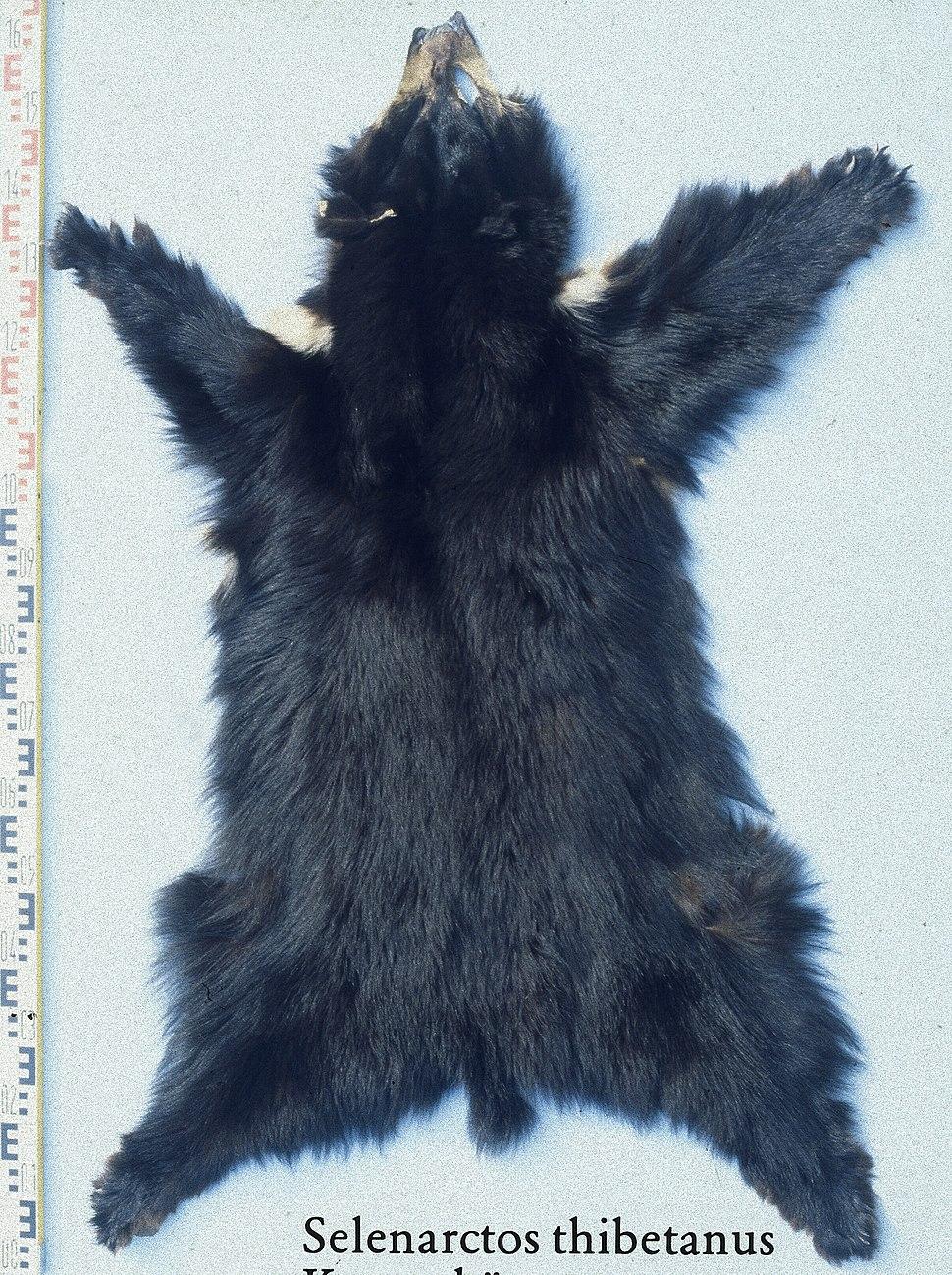 Selenarctos thibetanus fur skin