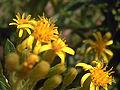 Senecio malacitanus EnfoqueFlores 15-10-2008 Illora.jpg