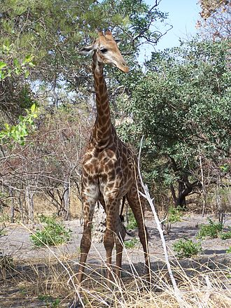 Species translocation - South African giraffes were translocated to Senegal, where giraffes had been extirpated by hunting and habitat loss.