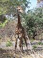 SenegalGiraffe.jpg