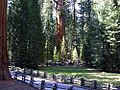 Sequoia trees woods.jpg