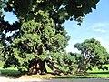 Sequoiadendron layering.jpg