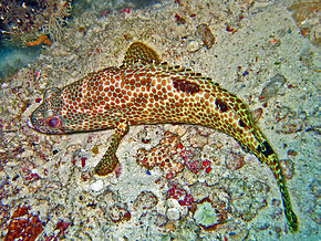 Description de l'image Serranidae - Epinephelus spilotoceps.jpg.