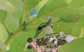 Setophaga cerulea Weldon Spring 1.jpg