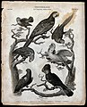 Seven parrots of the order Psittaciformes. Line engraving by Wellcome V0020563.jpg