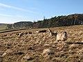 Sheep grazing rough pastures above Beldon Burn - geograph.org.uk - 700407.jpg
