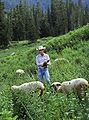 Sheep in mountain pasture.jpg