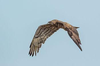 Short-toed Snake Eagle-7513.jpg