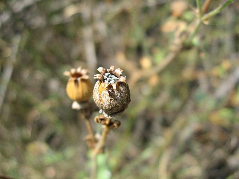 File:Silene latifolia fruit.jpg