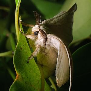 Bombyx mori - Wild silkmoth Bombyx mandarina