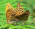 Silver-Washed Fritillaries - geograph.org.uk - 923732.jpg
