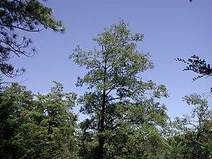 Lophozonia menziesii - Adult tree