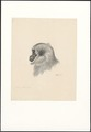 Simia leucisca - 1790-1872 - Print - Iconographia Zoologica - Special Collections University of Amsterdam - UBA01 IZA1000078.tif
