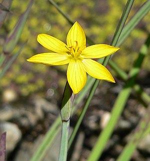 Sisyrinchium - Sisyrinchium californicum