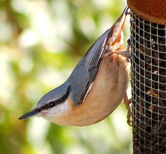 Nuthatch - Eurasian nuthatch on a garden bird feeder