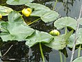 Skunk Cabbage Blooming in Pond, Wallowa-Whitman National Forest (26776500336).jpg