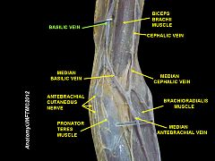 basilic vein - wikiwand, Human Body