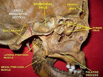 Palatine process of maxilla - Image: Slide 8rr