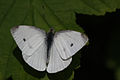 Small white male Pieris rapae.jpg